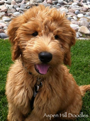 Go Back > Gallery For > Apricot F1 Goldendoodle