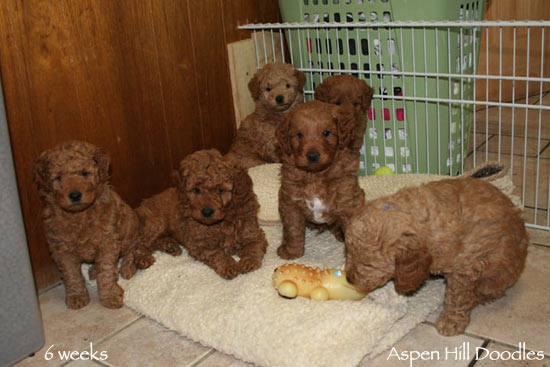 Goldendoodle Puppies From Colorado